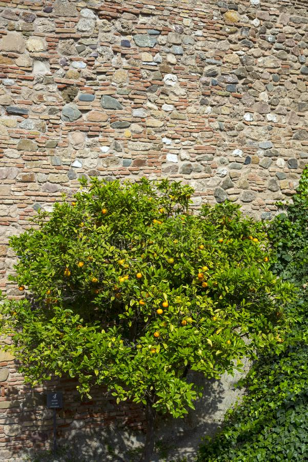 Yellow wild tangerines on the ruins of shrubs. The ancient stone walls of the Arab fortress of Gibralfaro. Landmark of Malaga, stock images