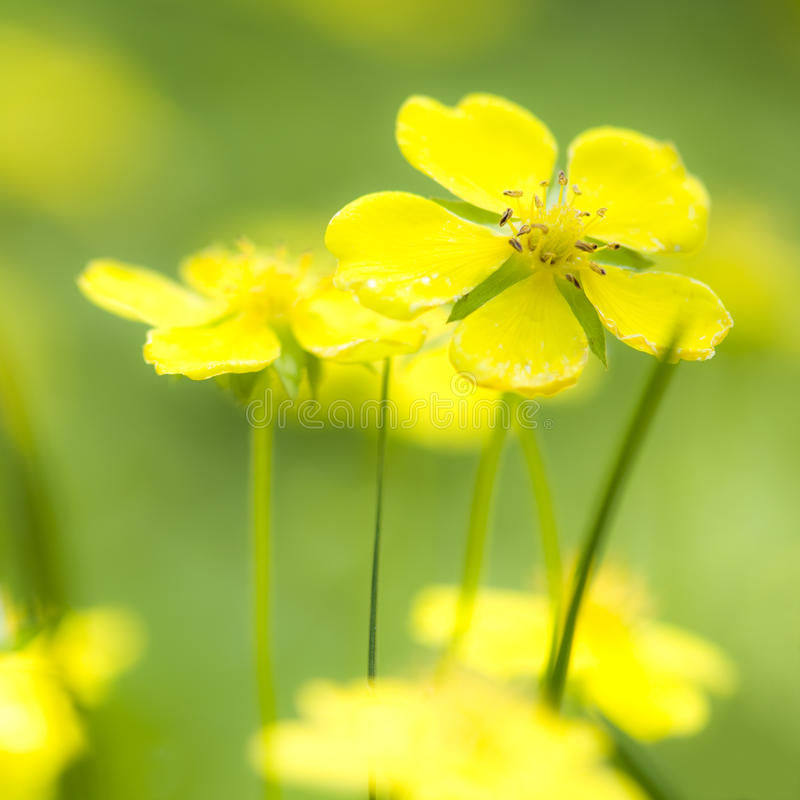 Yellow wildflower. On close-up stock photography