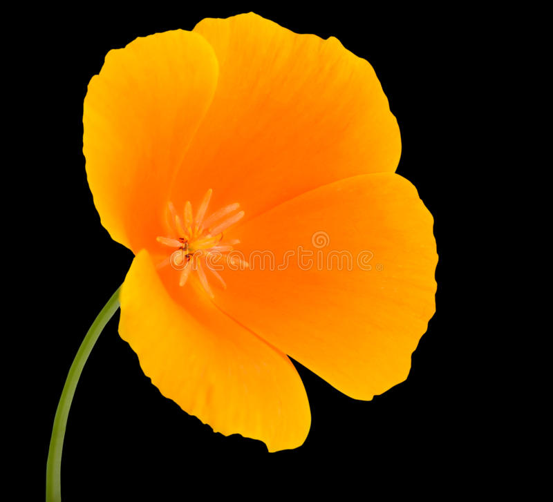 Yellow Wildflower with orange center Isolated. Yellow Wildflower Flower with Orange center on Green Stick Isolated on Black Background stock photography