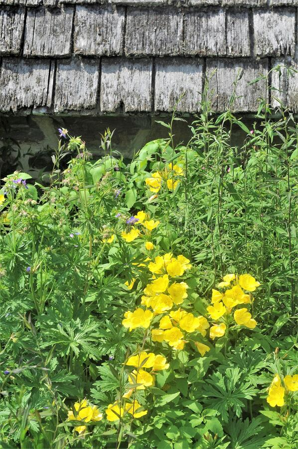 Yellow Wildflowers Against Old Shed royalty free stock photo