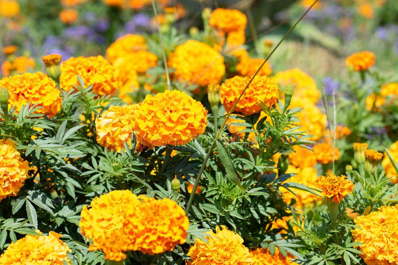Yellow wildflowers on a background  of green park. Yellow flowers closeup in the park royalty free stock photos