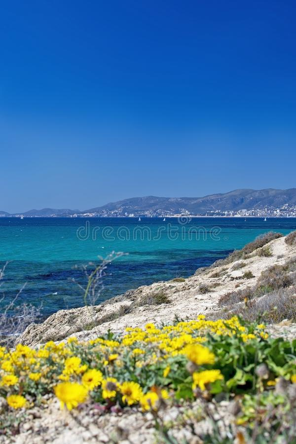 Yellow wildflowers blossom against blue ocean Mallorca royalty free stock image