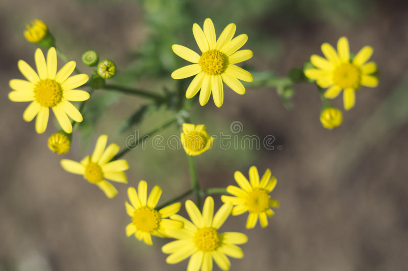 Yellow Wildflowers royalty free stock image