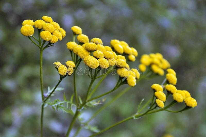 Yellow wildflowers closeup stock images