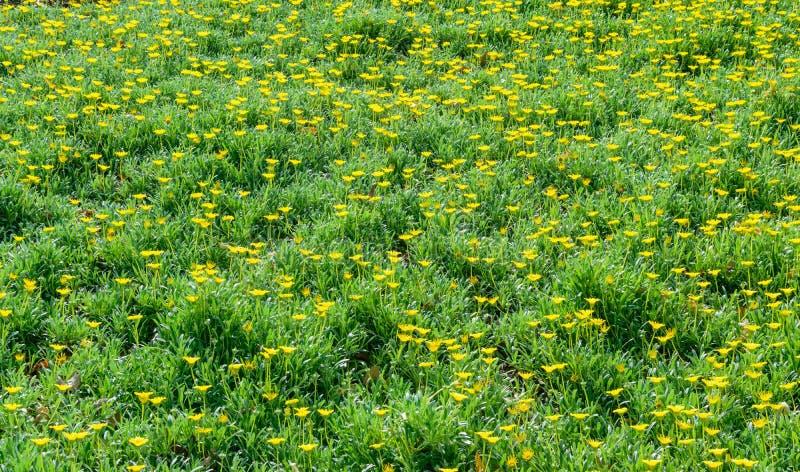 Yellow wildflowers on hillside stock photos
