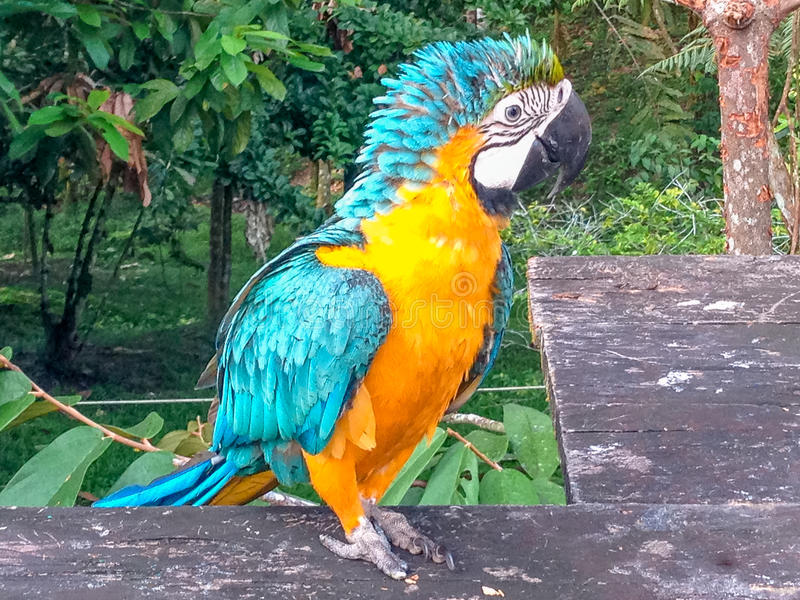 Yellow wildlife macaw in the brazilian rain forest. View on yellow wildlife macaw in the brazilian rain forest royalty free stock photo