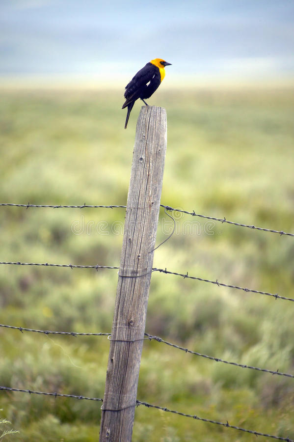 Yellow-winged black bird on fence rail, near Lakeview Montana in spring royalty free stock photography