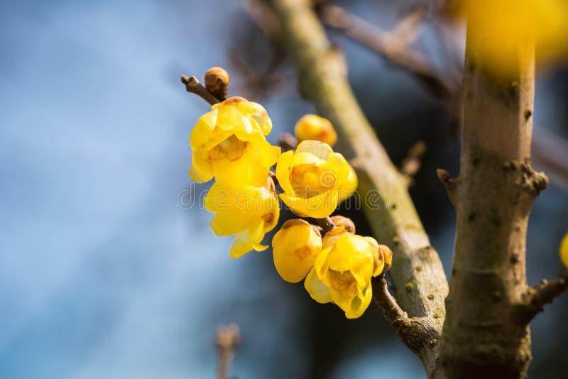 Yellow wintersweet flower stock photography