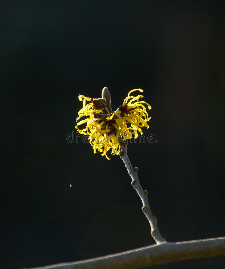 Yellow Witch Hazel Flowers. In winter royalty free stock photo