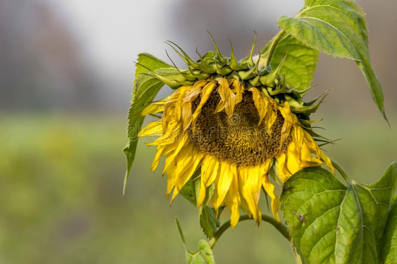 Yellow withered sunflower sadly leaves the flower head hanging. In front of blurred green background stock photo