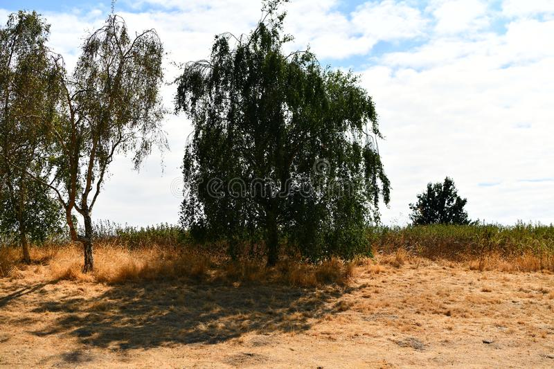 Yellow withering grass, drought in the fields, trees,. Exuded grass, dying nature hot weather, high temperatures, no rain the shade of the trees gives relief in stock photography
