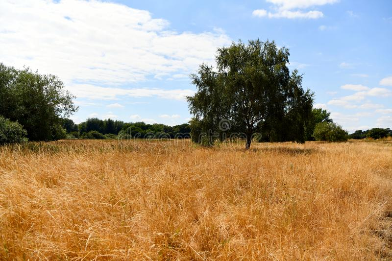 Yellow withering grass, drought in the fields, trees,. Exuded grass, dying nature hot weather, high temperatures, no rain the shade of the trees gives relief in stock image