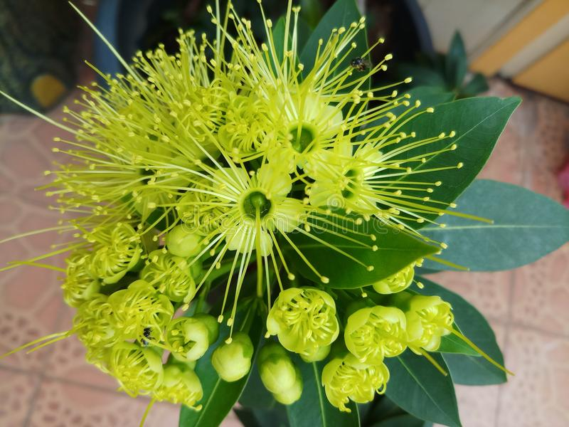 Xanthostemon flower blooming royalty free stock photos