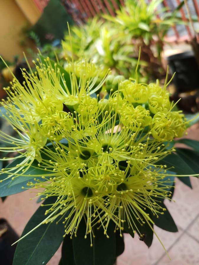 Xanthostemon flower blooming royalty free stock photo