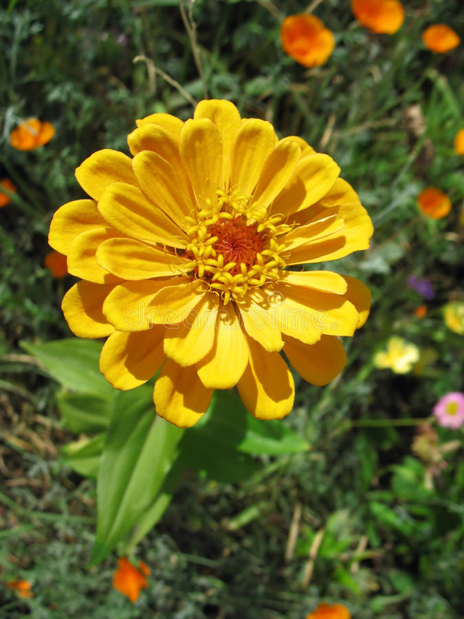 Yellow zinnia against green background stock image