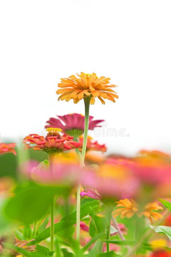 Download Yellow Zinnia Flower In The Garden Stock Photo - Image: 26032494