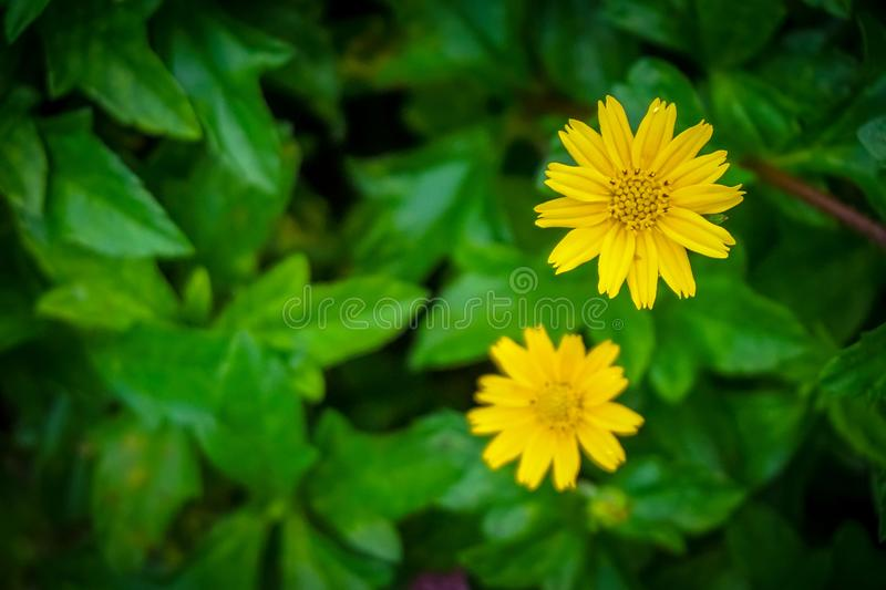 Yellow Zinnia Flower with Summer Garden Blur.  stock photos