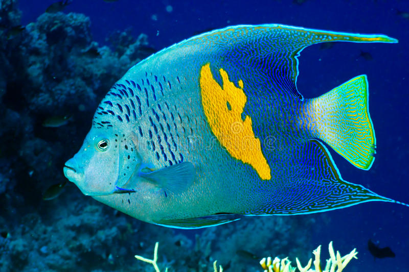 Yellowbar Angelfish lizenzfreies stockfoto