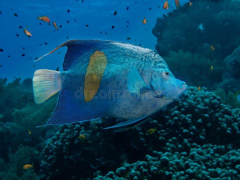 Yellowbar Angelfish zdjęcia stock