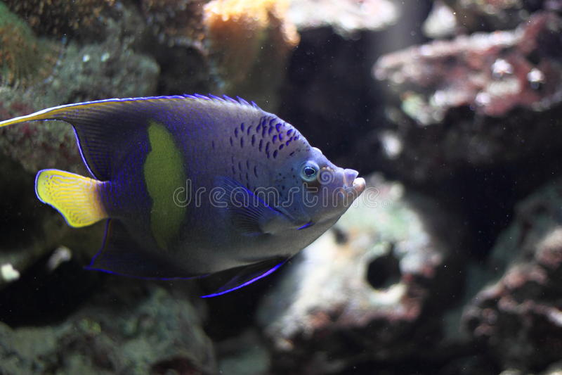 Yellowbar angelfish stock photography