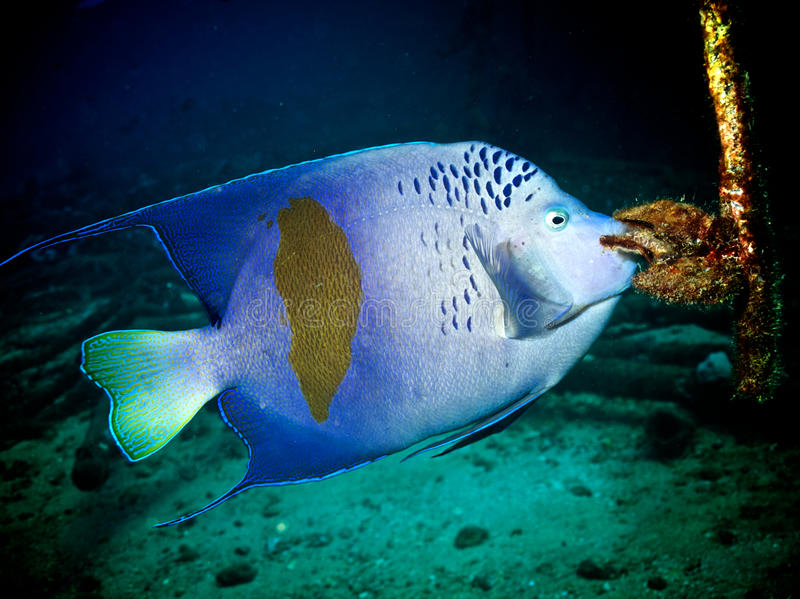 Yellowbar Angelfish (Pomacanthus maculosus) stockbild