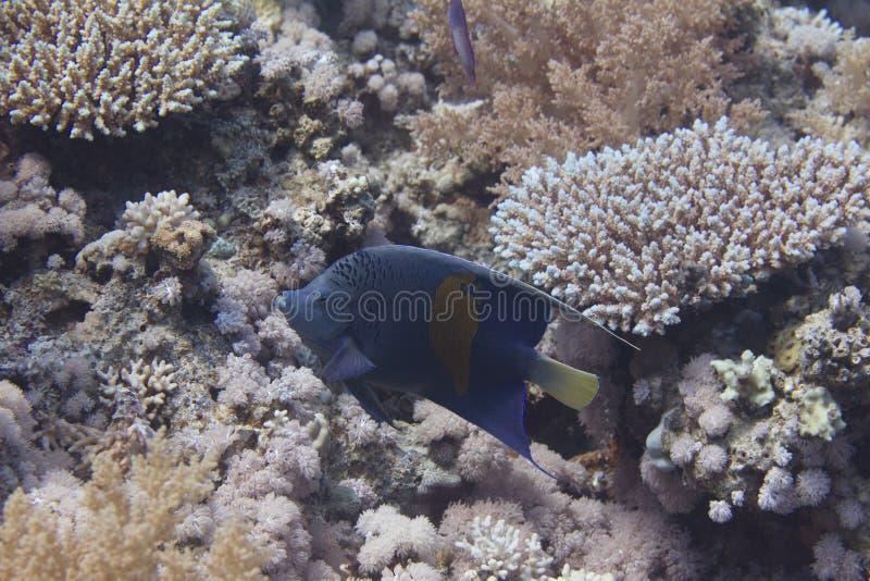Yellowbar Angelfish in Red Sea royalty free stock photos
