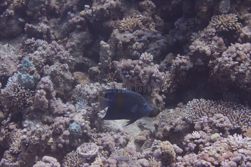 Yellowbarzeeëngel in rode overzees stock foto