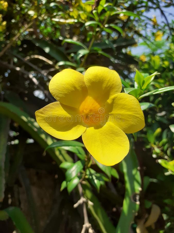 Yellowbell arkivfoto