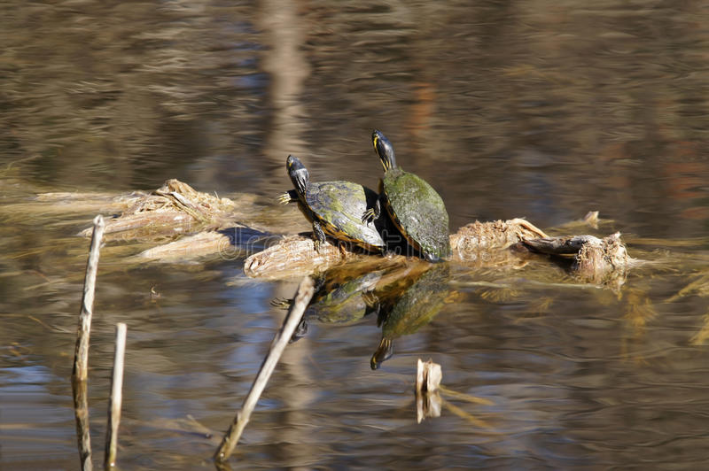 Download Yellowbelly Slider Turtles stock photo. Image of animal - 36955804