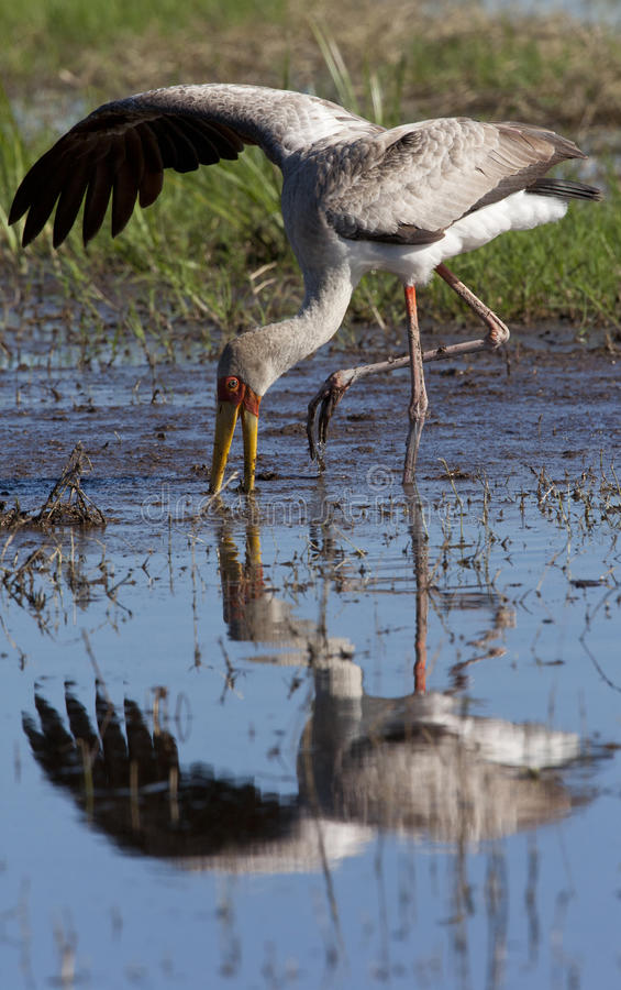 Yellowbilled Stork - Okavango Delta - Botswana royalty free stock images