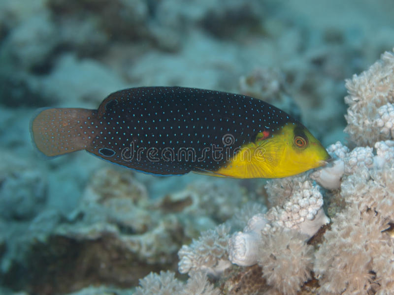 Yellowbreasted wrasse. In red sea stock image