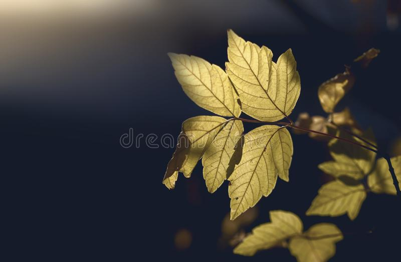 Yellowed leaves in autumn season tree branches and blur background royalty free stock photos