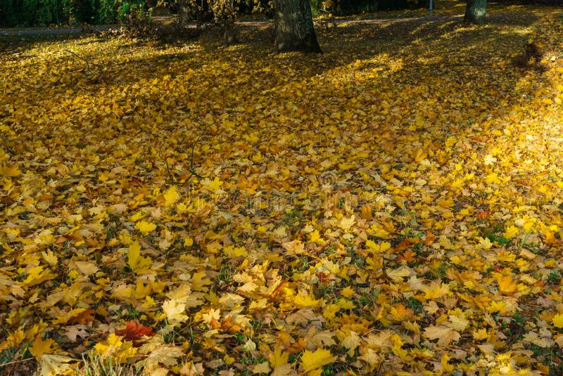 Yellowed maple leaves on green grass in a city park.  royalty free stock images