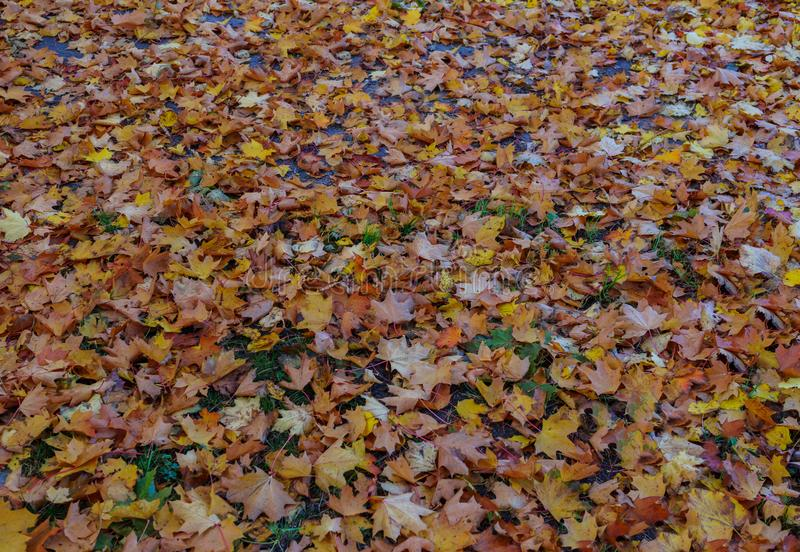 Yellowed maple leaves on green grass in a city park.  stock photo