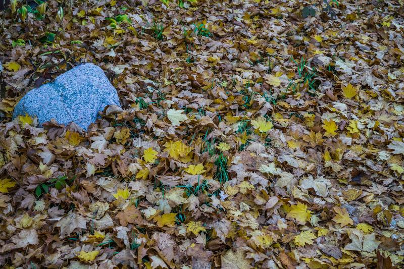 Yellowed maple leaves on green grass in a city park.  stock image