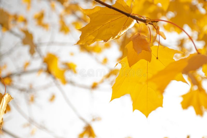 Yellowed maple leaves on a light sky background. Autumn mood. Calm and cool royalty free stock photo