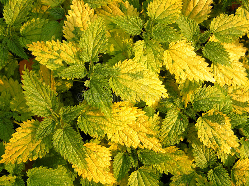 The yellowed nettle. royalty free stock photography
