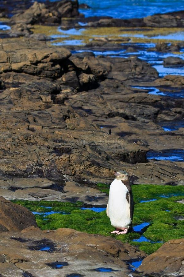 Yelloweyed Penguin on the Shore stock image
