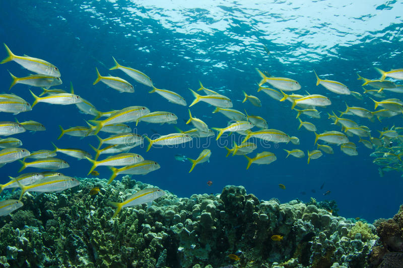 Yellowfin Goatfish. A school of yellowfin goatfish in the Red Sea royalty free stock images