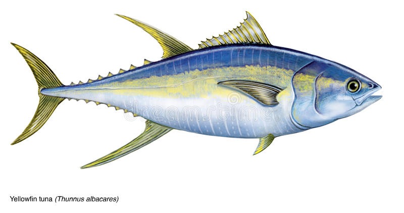Yellowfintonfisk stock illustrationer