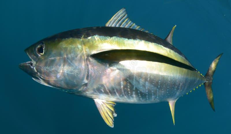 Yellowfintonfiskfisk som är undervattens- i havet arkivfoto