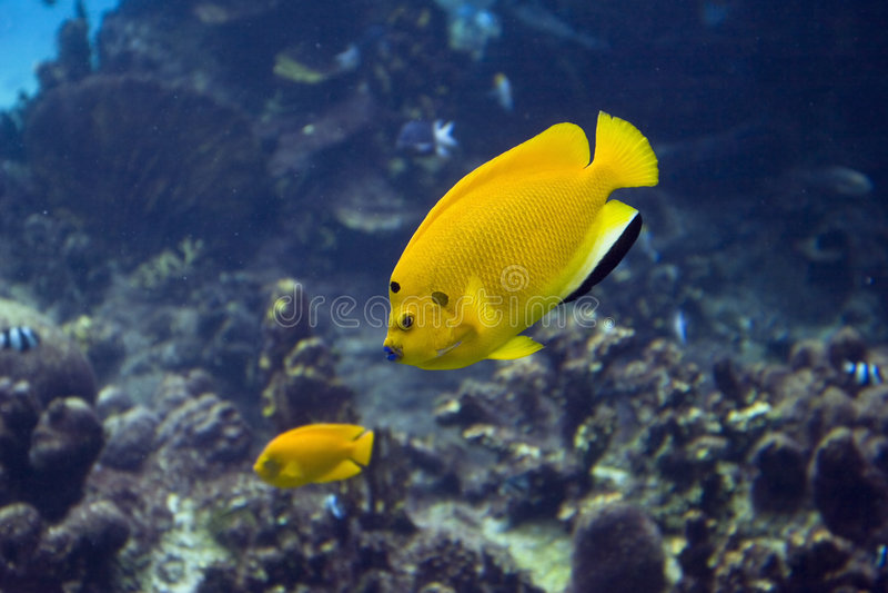 yellowfish obrazy royalty free