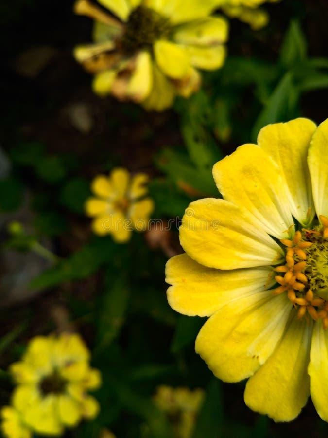 Yellowflower stockfoto