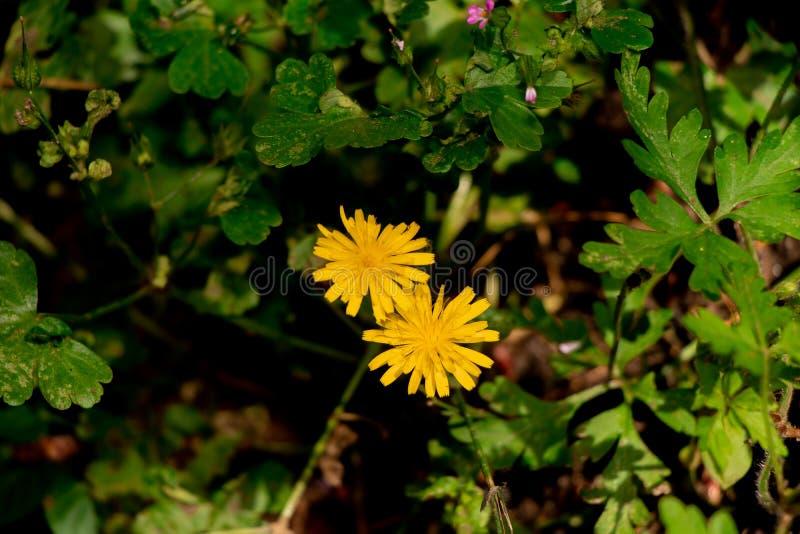 Yellowflowers image stock