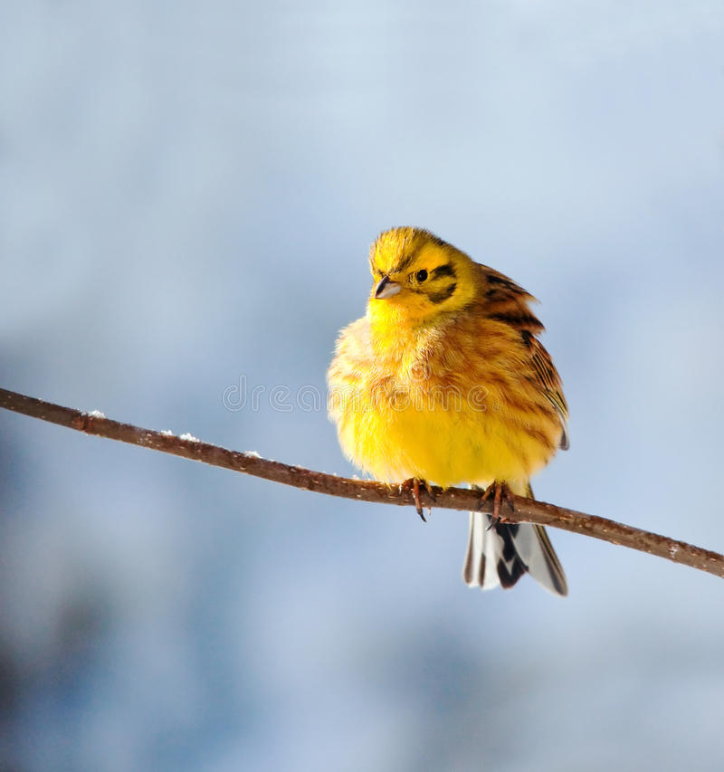 Download Yellowhammer stock image. Image of tail, soaring, nature - 16633841