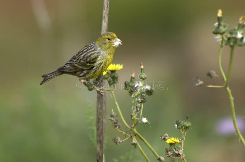 Download Yellowhammer stock photo. Image of citrinella, bird, yellowhammer - 26476924