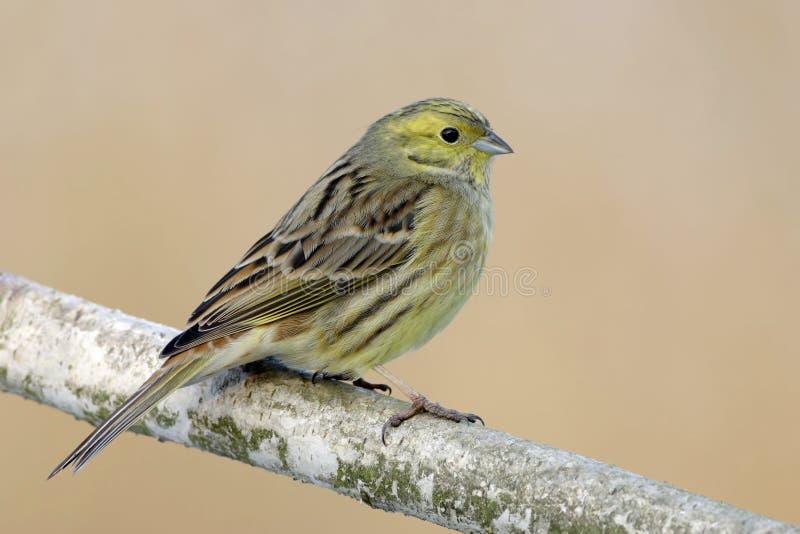 Download Yellowhammer stock photo. Image of camera, ornithology - 6778404