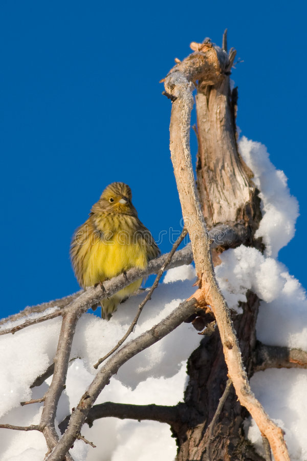 Download Yellowhammer Bird In Snow Stock Photography - Image: 4108692