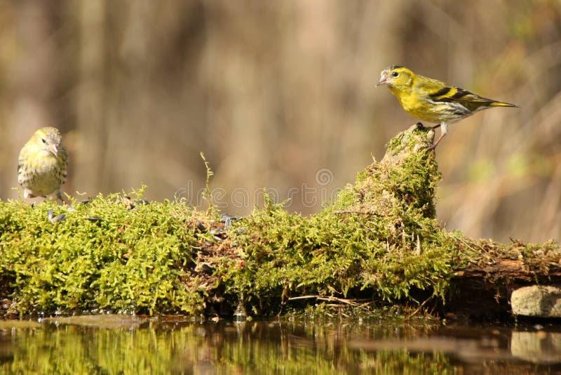 Yellowhammer dziki ptak! fotografia stock