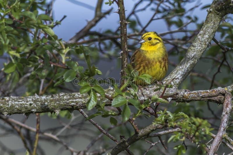 Yellowhammer-Emberiza citrinella lizenzfreie stockfotografie